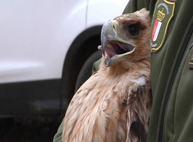 Se libera un águila imperial en la Finca La Garganta, entre Brazatortas y Fuencaliente para impulsar la recuperación de especies