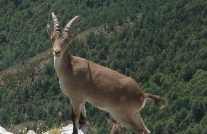 El Gobierno regional crea un grupo de trabajo para estudiar la población de cabra montés en Parque Natural del Valle de Alcudia y Sierra Madrona