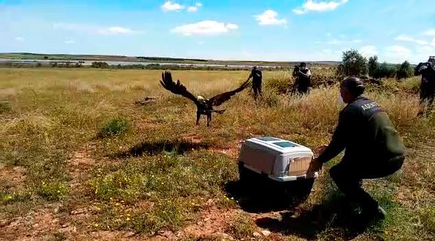 """El águila imperial ibérica recuperada en """"El Chaparrillo""""  está plenamente reintegrada en el medio natural"""